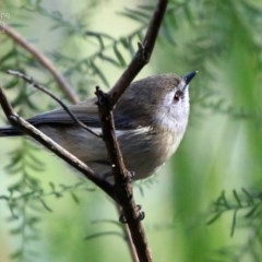 Gerygone mouki (Brown Gerygone) at Kings Point, NSW - 9 Aug 2014 by CharlesDove