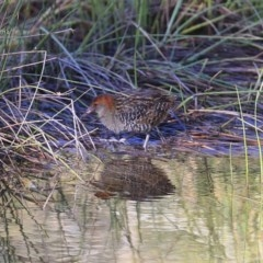Lewinia pectoralis pectoralis (Lewin's Rail) at Wairo Beach and Dolphin Point - 11 Aug 2014 by Charles Dove