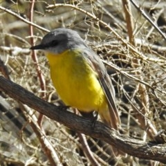 Eopsaltria australis (Eastern Yellow Robin) at ANBG - 1 Aug 2018 by RodDeb
