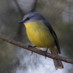 Eopsaltria australis (Eastern Yellow Robin) at ANBG - 1 Aug 2018 by Alison Milton