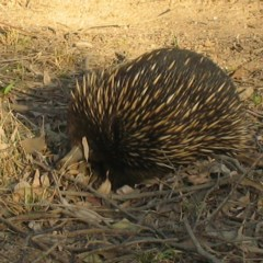 Tachyglossus aculeatus (Short-beaked Echidna) at Brogo, NSW - 2 Aug 2018 by JackieMiles