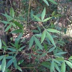 Ceratopetalum gummiferum (New South Wales Christmas-bush, Christmas Bush) at Morton National Park - 3 Aug 2018 by Stewart