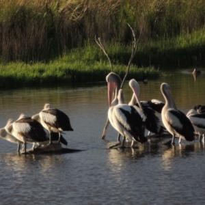 Pelecanus conspicillatus at Jerrabomberra Wetlands - 14 Jan 2015