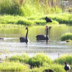 Paspalum distichum at Jerrabomberra Wetlands - 14 Jan 2015