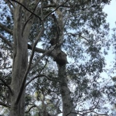 Tree hollows at Mogo State Forest - 4 Aug 2018 by nickhopkins