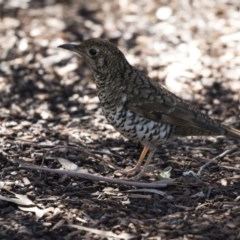 Zoothera lunulata (Bassian Thrush) at ANBG - 3 Aug 2018 by Alison Milton