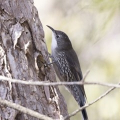 Cormobates leucophaea (White-throated Treecreeper) at ANBG - 3 Aug 2018 by Alison Milton