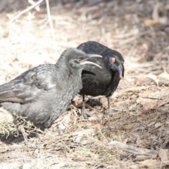 Corcorax melanorhamphos (White-winged Chough) at ANBG - 3 Aug 2018 by Alison Milton