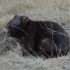 Vombatus ursinus (Wombat) at Bullen Range - 25 Jul 2018 by michaelb