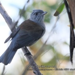 Colluricincla harmonica (Grey Shrike-thrush) at South Pacific Heathland Reserve - 23 May 2018 by Charles Dove