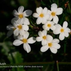 Ricinocarpos pinifolius (Wedding Bush) at South Pacific Heathland Reserve - 24 May 2018 by CharlesDove