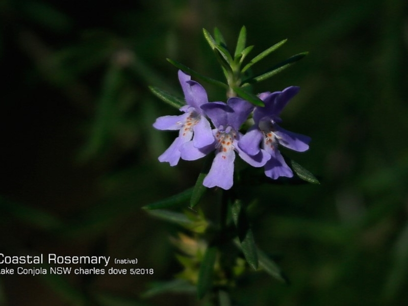 Westringia fruticosa at Conjola Bushcare - 15 May 2018