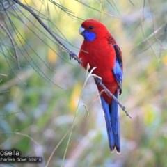 Platycercus elegans (Crimson Rosella) at Ulladulla Wildflower Reserve - 14 May 2018 by Charles Dove
