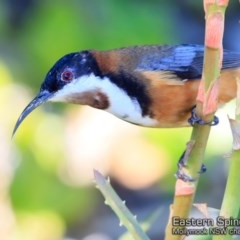 Acanthorhynchus tenuirostris (Eastern Spinebill) at Undefined - 17 May 2018 by Charles Dove