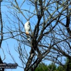 Accipiter novaehollandiae (Grey Goshawk) at Undefined - 15 May 2018 by Charles Dove