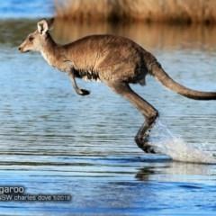 Macropus giganteus (Eastern Grey Kangaroo) at Narrawallee Creek Nature Reserve - 15 May 2018 by Charles Dove