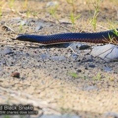 Pseudechis porphyriacus (Red-bellied Black Snake) at Conjola Bushcare - 15 May 2018 by Charles Dove