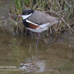 Erythrogonys cinctus (Red-kneed Dotterel) at Culburra Beach - Lake Wollumboola Bushcare - 27 Jun 2018 by Charles Dove