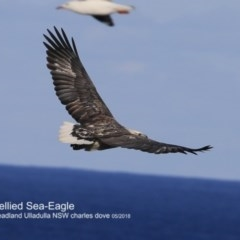 Haliaeetus leucogaster (White-bellied Sea-eagle) at Coomee Nulunga Cultural Walking Track - 24 Jun 2018 by Charles Dove