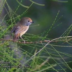 Acanthiza pusilla (Brown Thornbill) at Coomee Nulunga Cultural Walking Track - 21 Jun 2018 by Charles Dove