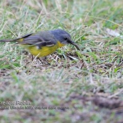 Eopsaltria australis (Eastern Yellow Robin) at Coomee Nulunga Cultural Walking Track - 21 Jun 2018 by Charles Dove