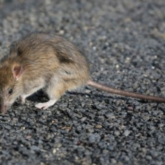 Rattus rattus (Black Rat) at Coomee Nulunga Cultural Walking Track - 20 Jun 2018 by Charles Dove