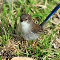 Malurus cyaneus (Superb Fairy-wren) at Coomee Nulunga Cultural Walking Track - 21 Jun 2018 by Charles Dove
