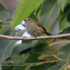 Acanthiza pusilla (Brown Thornbill) at One Track For All - 15 Jun 2018 by CharlesDove