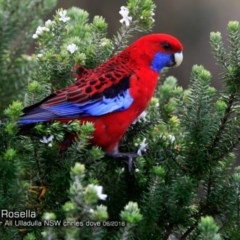 Platycercus elegans (Crimson Rosella) at One Track For All - 14 Jun 2018 by Charles Dove