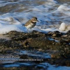 Charadrius bicinctus (Double-banded Plover) at South Pacific Heathland Reserve - 16 Jun 2018 by Charles Dove