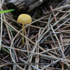 Agarics gilled fungi at South Pacific Heathland Reserve - 15 Jun 2018 by Charles Dove