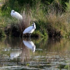 Platalea regia (Royal Spoonbill) at Wairo Beach and Dolphin Point - 14 Jun 2018 by Charles Dove