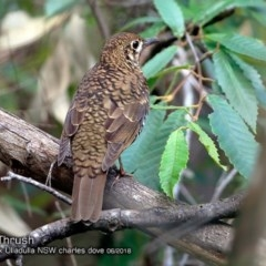 Zoothera lunulata (Bassian Thrush) at Ulladulla - Millards Creek - 2 Jun 2018 by Charles Dove