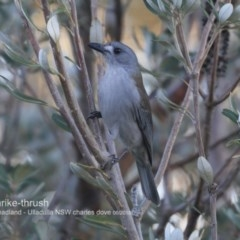 Colluricincla harmonica (Grey Shrike-thrush) at Coomee Nulunga Cultural Walking Track - 7 Jun 2018 by Charles Dove