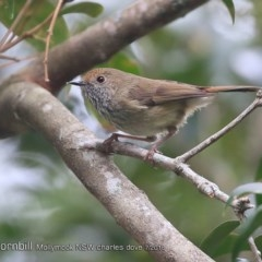 Acanthiza pusilla (Brown Thornbill) at Undefined - 29 Jul 2018 by CharlesDove