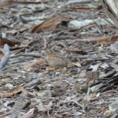 Turnix varius (Painted Buttonquail) at Mount Ainslie - 6 Aug 2018 by WalterEgo