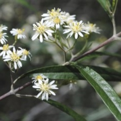 Olearia viscidula (Wallaby Weed) at One Track For All - 3 Oct 2014 by Nicholas de Jong
