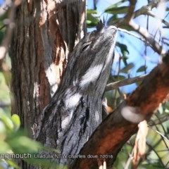 Podargus strigoides (Tawny Frogmouth) at Ulladulla - Millards Creek - 28 Jul 2018 by CharlesDove