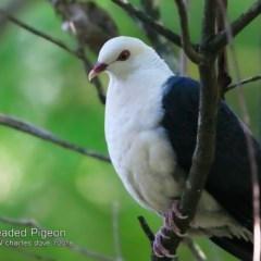 Columba leucomela (White-headed Pigeon) at Ulladulla - Millards Creek - 25 Jul 2018 by CharlesDove