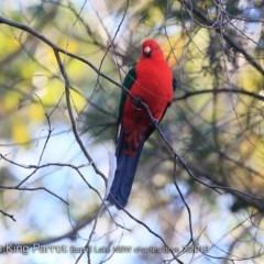 Alisterus scapularis (Australian King-parrot) at Burrill Lake Aboriginal Cave Walking Track - 22 Jul 2018 by Charles Dove