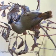 Acanthiza pusilla (Brown Thornbill) at Meroo National Park - 22 Jul 2018 by CharlesDove
