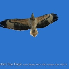 Haliaeetus leucogaster (White-bellied Sea-eagle) at Bawley Point Bushcare - 22 Jul 2018 by Charles Dove