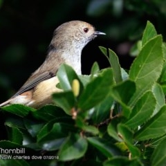 Acanthiza pusilla (Brown Thornbill) at Undefined - 15 Jul 2018 by Charles Dove
