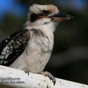 Dacelo novaeguineae at Ulladulla - Millards Creek - 1 Aug 2018