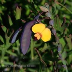Bossiaea heterophylla (Variable Bossiaea) at South Pacific Heathland Reserve - 1 Aug 2018 by CharlesDove