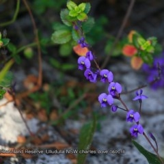 Hardenbergia violacea (False sarsaparilla) at South Pacific Heathland Reserve - 31 Jul 2018 by CharlesDove