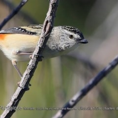 Pardalotus punctatus (Spotted Pardalote) at South Pacific Heathland Reserve - 31 Jul 2018 by CharlesDove