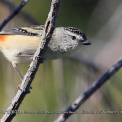 Pardalotus punctatus (Spotted Pardalote) at South Pacific Heathland Reserve - 31 Jul 2018 by CharlesDove