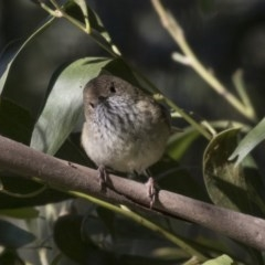 Acanthiza pusilla (Brown Thornbill) at Canberra Central, ACT - 26 Jul 2018 by Alison Milton