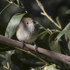 Acanthiza pusilla at Canberra Central, ACT - 27 Jul 2018